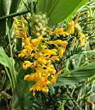 Go Garden Globba Schomburgkii - Dancing Girl Ginger - Rare Tropical Plant 5 Seeds D485