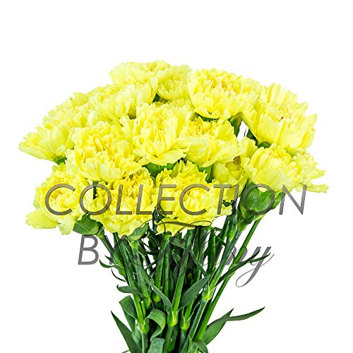 Fresh Flowers for Garland, Floral Arrangement, Birthday, Anniversary & Funeral 25stems per Bunch Long Lasting (Yellow)