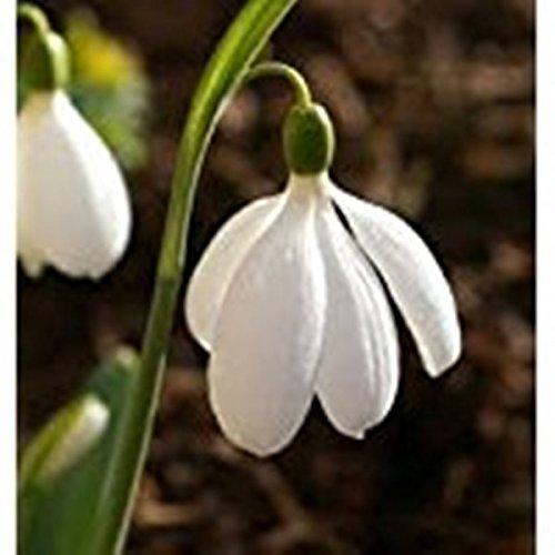 Easy to Establish Giant Snowdrop White Flowers Bulbs by Thompson /& Morgan 20 x Galanthus Elwesii Hardy Spring Flowering Bulbs Giant Snowdrops Ideal for Garden Borders /& Patios