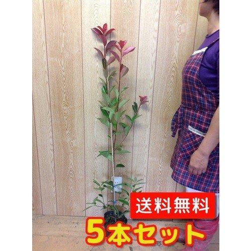 【ノーブランド品】レッドロビン樹高0.9m前後15cmポット【5本セット】 B00W4VUZ8A
