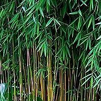 VISA STORE 20 Semillas de Negro Boo frescas (Fargesia Sp Jiuzhaigou 4) Hardy