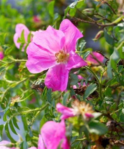 Trees By Post Dog Rose Plants Shrubs (Rosa canina) x 1