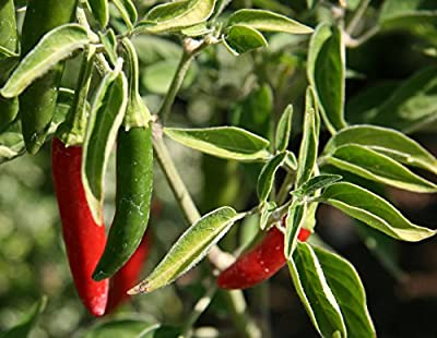 Serrano Hot Peppers Seeds! - 100+ Heirloom Seeds! - 99.7% Purity - SPRING SALE! - (Isla's Garden Seeds) - Non GMO! - Organic Survival Seeds - Total Quality!