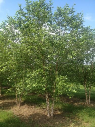 River Birch Betula nigra Multi-trunked Established Rooted 4