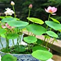 Hot Sale!!! 10pcs Lotus Seeds 8 Kinds Bowl Mixed Colors Flower Water Lily 100% Germination Of Aquatic Plant