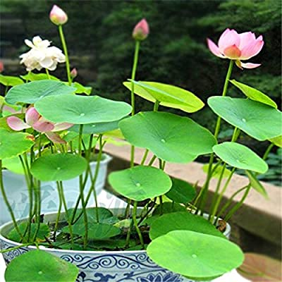 XBH Hot Sale Lotus Seeds 8 Kinds Bowl Mixed Colors Flower Water Lily 100% Germination Of Aquatic Plant