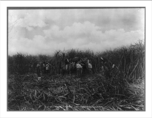 - Historic Print (L): [Group of men cutting sugar cane in the New Orleans vicin...