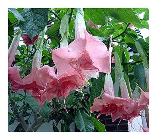 - Brugmansia Pink Delight - angels trumpet - 10 seeds