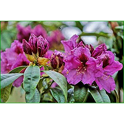 """Rhododendron Plum Beautiful - Bright Purple Blooms with Large Deep Purple Blotches - Grows Five Feet Tall - 8"""" to 12"""" Wide Plant – Typically Two Gallon : Garden & Outdoor"""