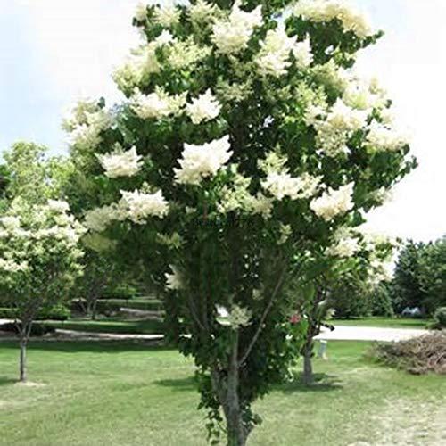 Go Lightly Licorice - Go Garden 20Pcs/Bag: White Japanese Lilac Tree Seeds Clove Flower Seeds Bonsai Flower Seeds Btl8 01