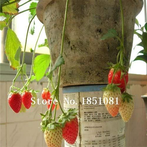 AGROBITS 100pcs / Fresas Bolsa de Semillas Blancas de Color Rojo ...