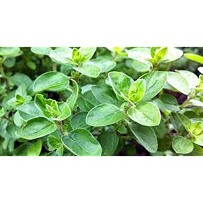 Tiyuki Marjoram Seed, Sweet, Heirloom, Organic, Non GMO, Herb, 500 Majoram Seeds : Garden & Outdoor