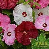 Pink Mallow Hibiscus Moscheutos Palustris - 10 Seeds