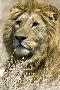 Póster 40 x 60 cm: Portrait of a regal male lion in the savanna of the Masai Mara GR de Joe & Mary Ann McDonald / Danita Delimont - impresión artística de alta calidad, nuevo póster artístico