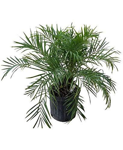 Phoenix roebelenii, Pygmy Date Palm, Roebelenii Palm - 3 Gallon Live Plant by PlantVine (Image #2)