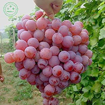 RARA Semillas de UVA roja de Semillas de Frutas Avanzada Plantas Naturales Crecimiento de UVA Deliciosa Fruta 30 Semillas / G14 Paquete