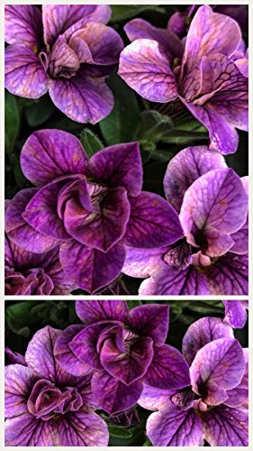 unia Seeds, 250 Seeds, Lavender Double Wave Petunia ()