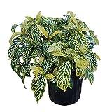 PlantVine Sanchezia speciosa - 10 Inch Pot (3 Gallon), Live Plant - 4 Pack