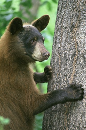 Close up Image of a Young Black Bear Poster Art Wild Animals