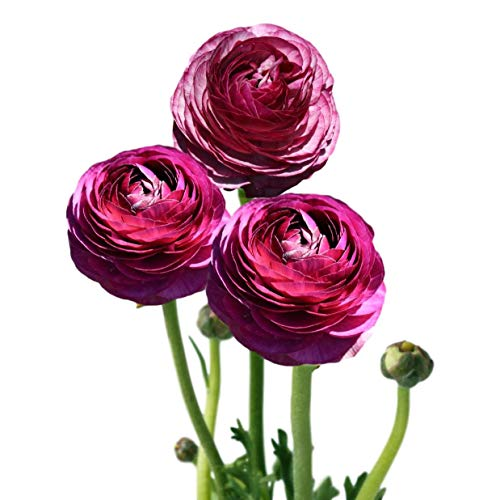 Tecolote Ranunculus Picotee Merlot - Persian Buttercup Bulbs - 10 XL Bulbs - 8+ cm | Ships from Easy to Grow TM