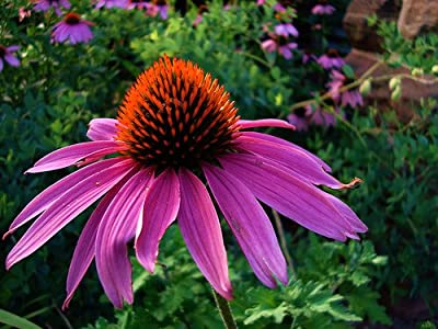 Purple Coneflower Perennial-70 Seeds, 500 mg-Echinacea