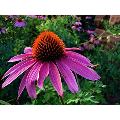Purple Coneflower Perennial-70 Seeds, 500 mg-Echinacea : Coneflower Plants : Garden & Outdoor