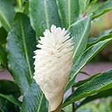 Ginger Alpinia purpurea Purest White Flowering Ginger - Live Plant tropical