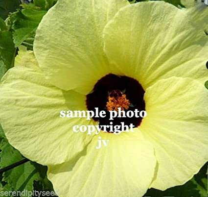 Amazon hibiscus vitifolius flower seeds bright yellow flowers hibiscus vitifolius flower seeds bright yellow flowers tropical rose mallow 10 mightylinksfo