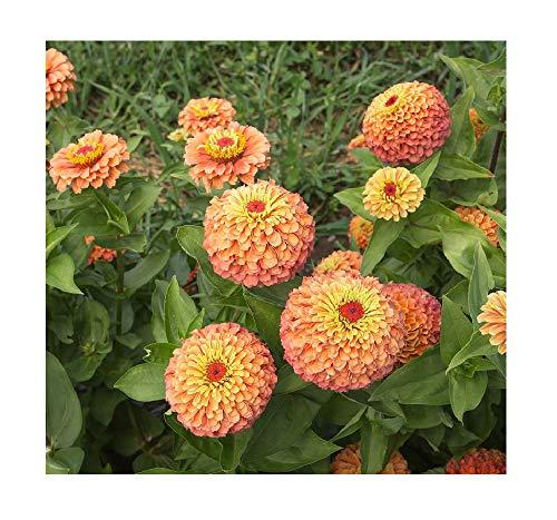 (David's Garden Seeds Flower Zinnia Queen Orange Lime SL7446 (Multi) 50 Non-GMO, Open Pollinated Seeds)