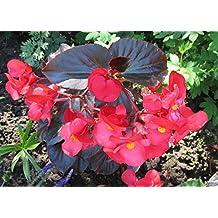 Begonia is a genus of perennial flowering plants .