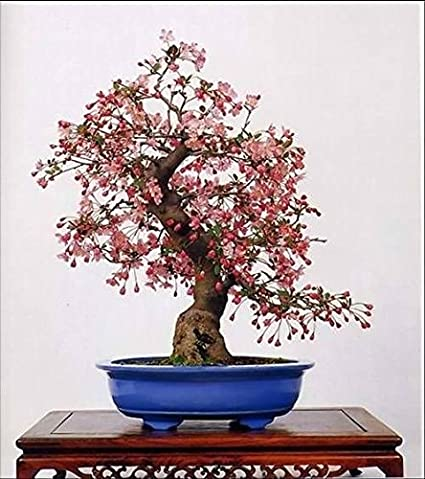Amazon Com 10 Seeds Japanese Flowering Cherry Blossom Bonsai Tree Exotic Rare Sakura Bonsai Garden Outdoor