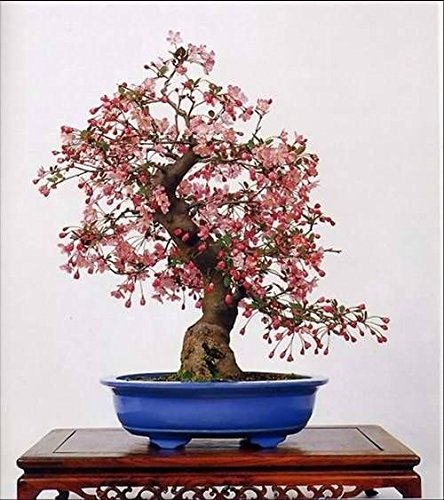 (10 Seeds Japanese Flowering Cherry Blossom Bonsai Tree Exotic Rare Sakura Bonsai)
