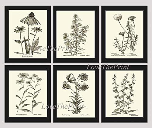 Botanical Print Set of 6 Prints Unframed Antique Coneflower Echinacea Foxglove Dandelion Aster Lily Bellflower Home Room Decor Wall Art MFS ()