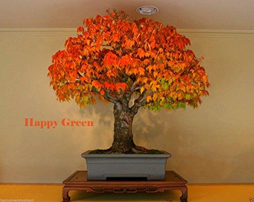 - JAPANESE ELM - 30 seeds - Zelkova serrata - American Bonsai Fast grow Tree