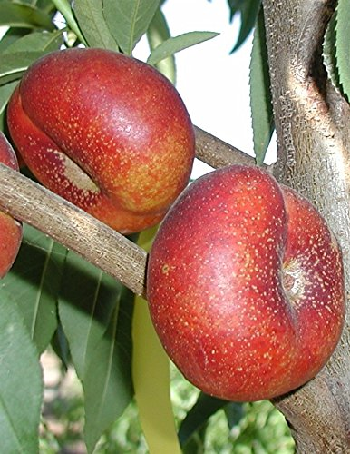 Honey Halo Nectarine Tree Shipped in Soil, Five Gallon Container