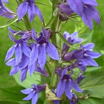 Lobelia Speciosa Fan Blue 15cm Pot Size Amazoncouk Garden