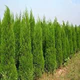 Pinkdose 100% Fresh Evergreen Cypress Tree Bonsai Plant Italian Plants Holly Easy to Grow for Home & Garden Pinus Cedar Trees: 50pcs