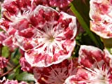50 MOUNTAIN LAUREL White Pink Red Kalmia Latifolia Shrub Bush Seeds * Comb S/H