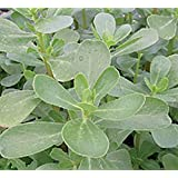 Herb Seeds - Purslane - 14,000 Seeds