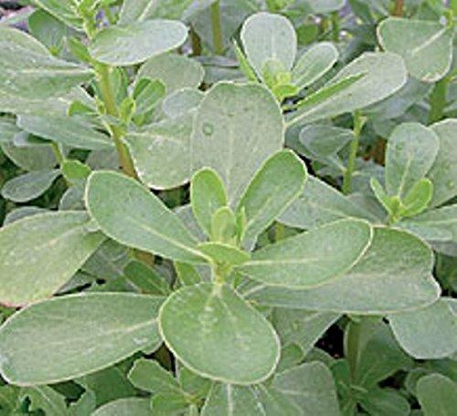 Green Purslane - Portulaca oleracea - 7000 Seeds NutsnCones