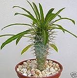 """Pachypodium lamerei rare madagascar palm plant cactus cacti caudex bonsai 4"""" pot"""