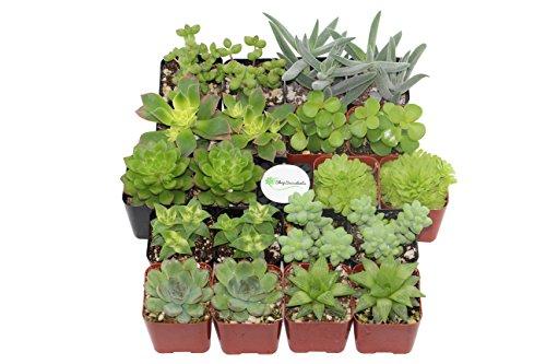 Shop Succulents Green Succulent (Collection of 20) by Shop Succulents (Image #1)