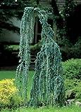 Weeping Cedar of Lebanon 3 - Year Graft