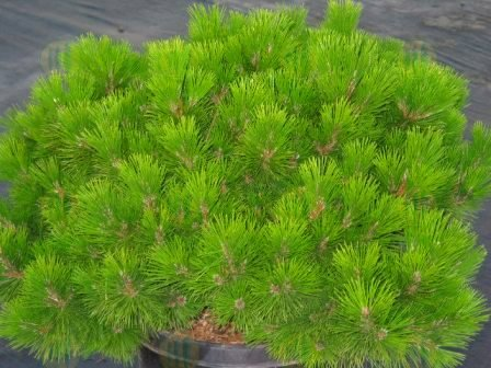 Banshosho Japanese Black Pine 3 - Year Graft