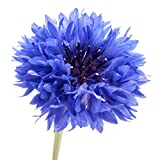 200 Dwarf Bachelor Button Seeds - Cornflower, Centaurea Cyanus - by RDR Seeds