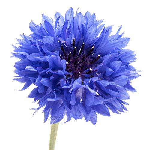 200 Dwarf Bachelor Button Seeds - Cornflower, Centaurea Cyanus - by RDR -