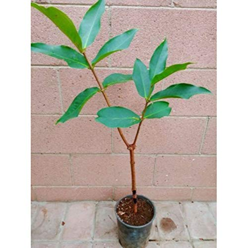 Thai Wax Jambu 25-30 inch Height in 1 Gallon Pot #BS1 by iniloplant (Image #1)