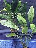 Echinodorus cordifolius hybrid - Potted Plant P362- Live Aquatic plant - Buy 2 Get 1 FREE