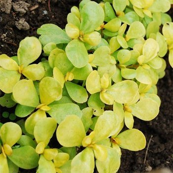 Outsidepride Golden Purslane - 5000 Seeds