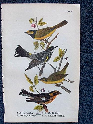 Warbler Antique - Plate 98 Hooded Warbler - Myrtle Warbler - Kentucky Warbler - Blackburnian Warbler - single original antique chromolithographed print from